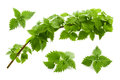 Leaves of nettle isolated on white background Stock Image