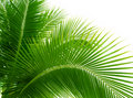 Leaves of palm Royalty Free Stock Photography
