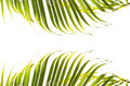 Leaves of palm tree isolated on white background. Top and Bottom of frame. Royalty Free Stock Photo