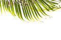 Leaves of palm tree isolated on white background. Top of frame. Royalty Free Stock Photo