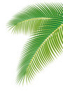 Leaves of palm tree on white background. Royalty Free Stock Photo
