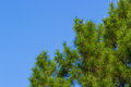 Leaves of pine tree clear blue sky with green Stock Image