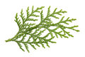 Leaves of pine tree or oriental arborvitae scientific name thuja orientalis on white background Stock Photo