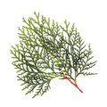 Leaves of pine tree or oriental arborvitae scientific name thuja orientalis on white background Stock Photography