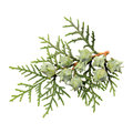 Leaves of pine tree or oriental arborvitae scientific name thuja orientalis on white background Stock Images