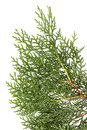 Leaves of pine tree or oriental arborvitae scientific name thuja orientalis on white background Stock Photos