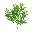 Leaves of pine tree on white background or oriental arborvitae scientific name thuja orientalis Royalty Free Stock Images