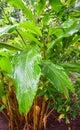 Leaves and Plant of Cardamom - Elettaria Cardamomum Maton - Malabar Elaichi - Spice Plantation in Kerala, India