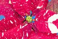 leaves of a poinsettia, Royalty Free Stock Photo