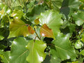 Leaves of poplar Stock Photos