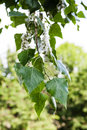 Leaves of poplar tree and fluff on catkins Royalty Free Stock Photo
