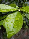 Leaves with Raindrops Royalty Free Stock Photo