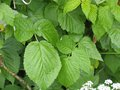 Leaves of raspberry Royalty Free Stock Photo