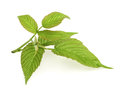 Leaves of raspberry on white background Royalty Free Stock Photo