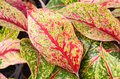 Leaves with a red beautiful texture of Royalty Free Stock Photos