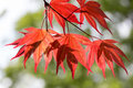 Leaves of red maple in the forest a Stock Photos
