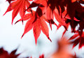 Leaves of red maple in forest the Stock Photo