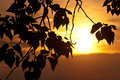 Leaves silhouetted in the light of the evening sunset tree Royalty Free Stock Photo