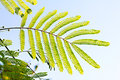 Leaves of silk tree green the acacia albizia julibrissin Royalty Free Stock Photo
