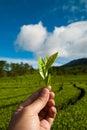 Leaves som väljer tea Arkivbilder