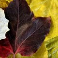 Leaves still of autumn leaves, fall classic images Royalty Free Stock Images
