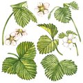 Leaves of Strawberries with flowers. Isolated on a white background. Hand drawn watercolor painting illustration.