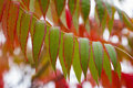 Leaves of sumac green and red autimnal is used as a spice in middle eastern cuisine Stock Image