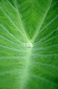 Leaves of taro Royalty Free Stock Image