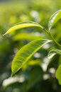 Leaves of a tea plant the up close in plantation in tanzania Royalty Free Stock Photos