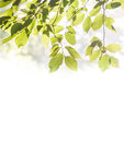 Leaves of the tree natural background with green beech Royalty Free Stock Photography