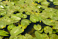 Leaves from water lily Royalty Free Stock Photo