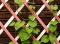 Leaves on a wooden lattice of the veranda Royalty Free Stock Photo
