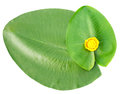 Leaves and yellow flower green top view isolated on white Stock Images