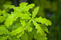 Leaves of a young oak. Royalty Free Stock Photo