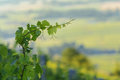 Leaves of young vines in with morning lights, Beaujolais Royalty Free Stock Photo