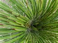 Yucca plant from the top Royalty Free Stock Photo