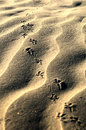 Leaving bird steps on fine sand Royalty Free Stock Photo