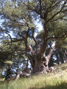 Lebanon cedar an immense in s renowned forest of the cedars of god Royalty Free Stock Photo
