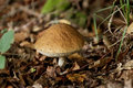 Leccinum aurantiacum, Bolet orange Stock Photography