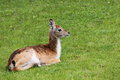 Lechwe juvenile kobus leche sitting on grass Royalty Free Stock Image
