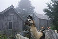 LeConte Llamas Royalty Free Stock Photo