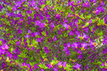 Ledum. the entire hive is littered with flowers of bright purple color.