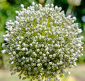 Leek flower Royalty Free Stock Photo