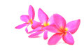 Leelawadee pink flower in thailand Royalty Free Stock Image