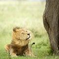 Leeuw die in het gras ligt Stock Foto's