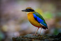 Left side portrait of Blue-winged pitta (Pitta moluccensis)
