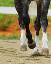 Legsofhorse the legs and hooves of a horse running Stock Photography