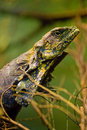 Leguan closeup Royalty Free Stock Images