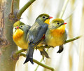 Leiothrix lutea acacia red billed birds looking for food Royalty Free Stock Image