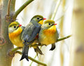 Leiothrix lutea acacia red billed birds looking for food Stock Photo
